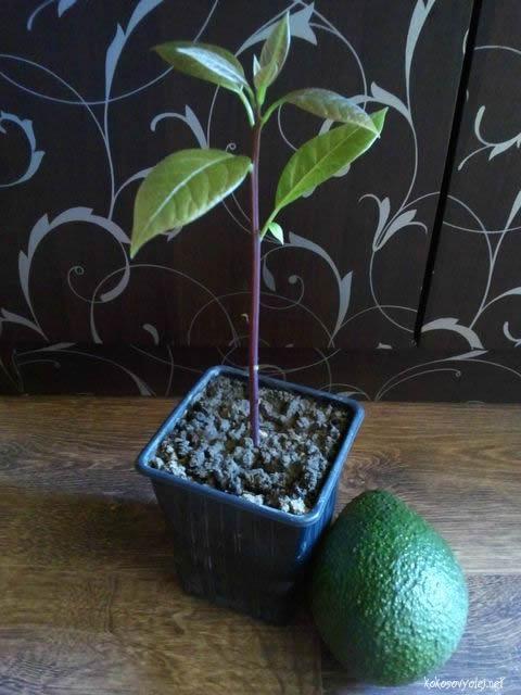 ako vypestovať avokádo rastlinka